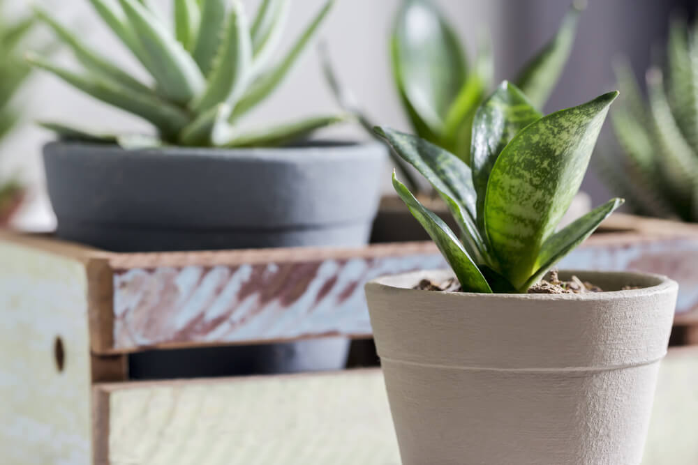 Snake plant in home